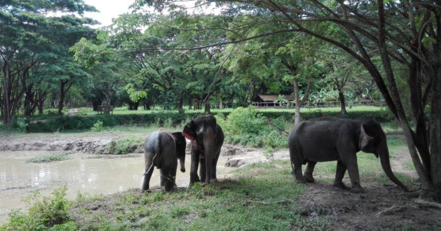 evp-elephants-en-captivite-habitat-naturel-mondolkiri