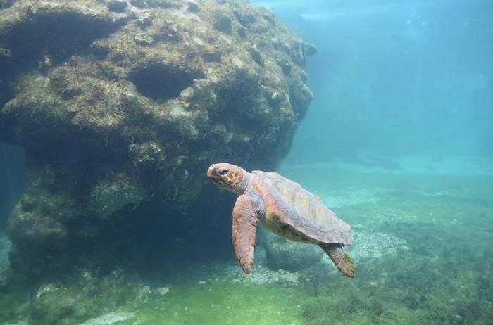 ou-voir-tortue-centre-Kelonia-Saint-Leu