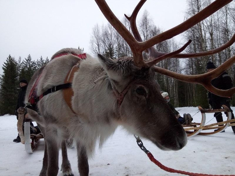 excursion-visite-ferme-rennes-en-moto-neige-depuis-rovaniemi