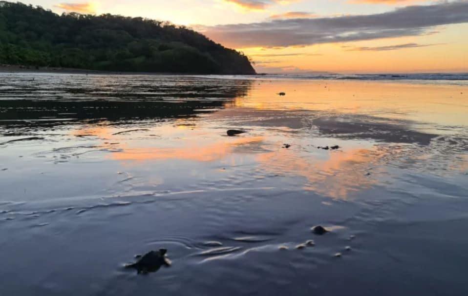 ou-voir-petite-tortue-samara-beach-costa-rica